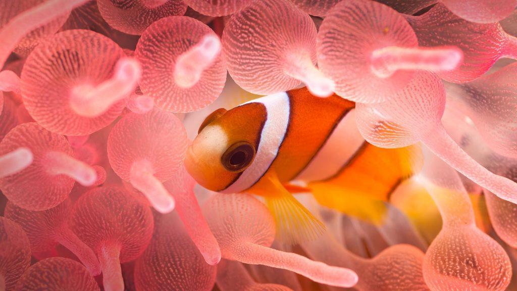 Juvenile Clarks Anemonefish in Pink Bubble Tip Anemone, Sumbawa, Indonesia
