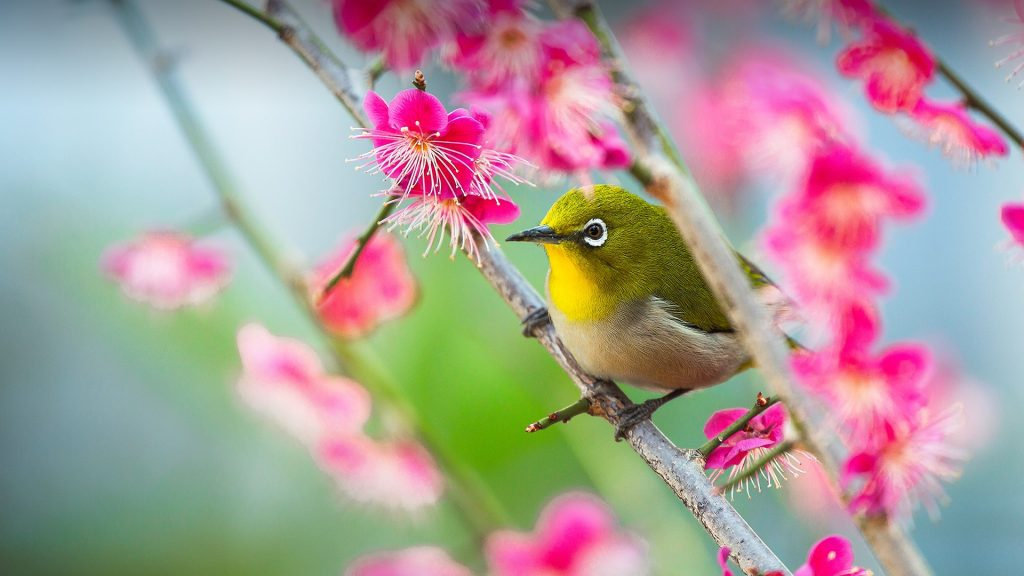 Japanese white-eye (Zosterops japonicus) on the plum tree branch, Amisihiki Shrine, Kobe, Japan