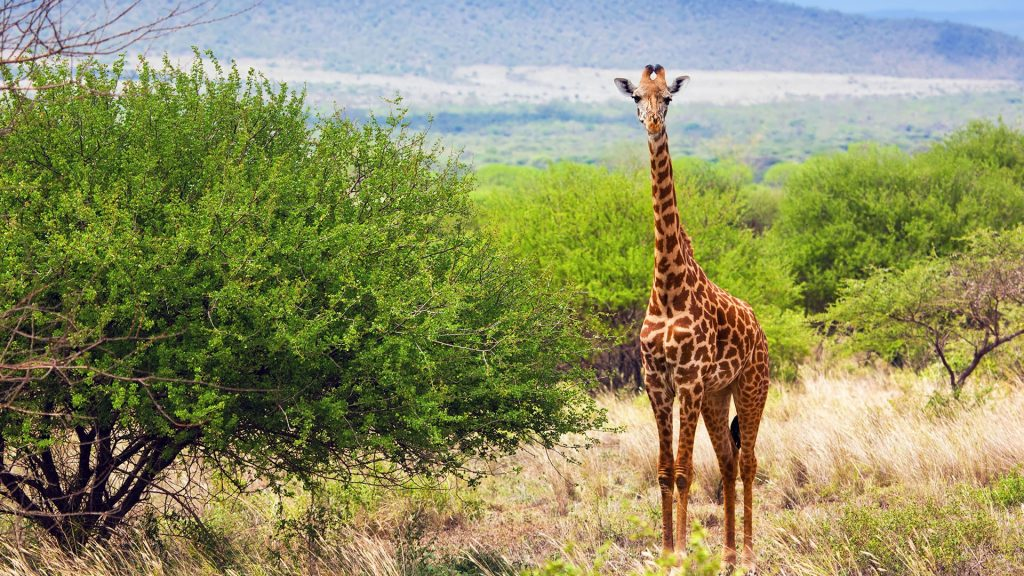 Giraffe on grassland savanna in Tsavo West National Park, Kenya