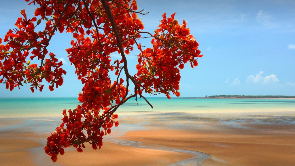 Flamboyant tropical tree (Delonix regia) and sandy beach, Darwin, Northern Territory, Australia