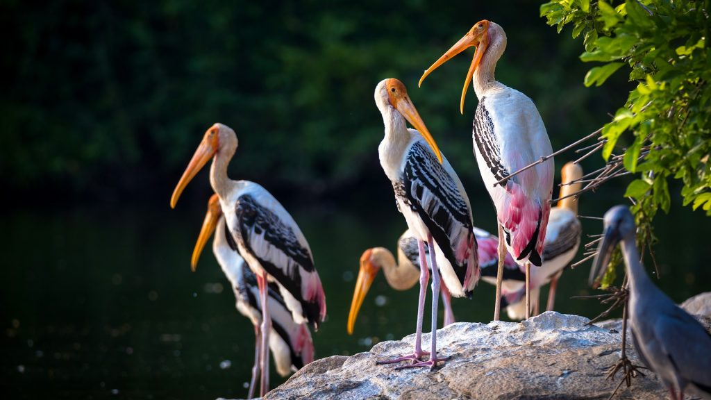 Painted storks (Mycteria leucocephala) on a rock, Karnataka, Southern India