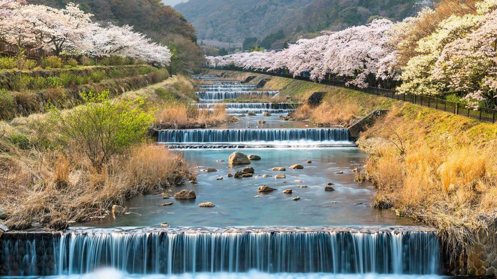 Cherry blossom lined river in Hakone, Kanagawa, Japan