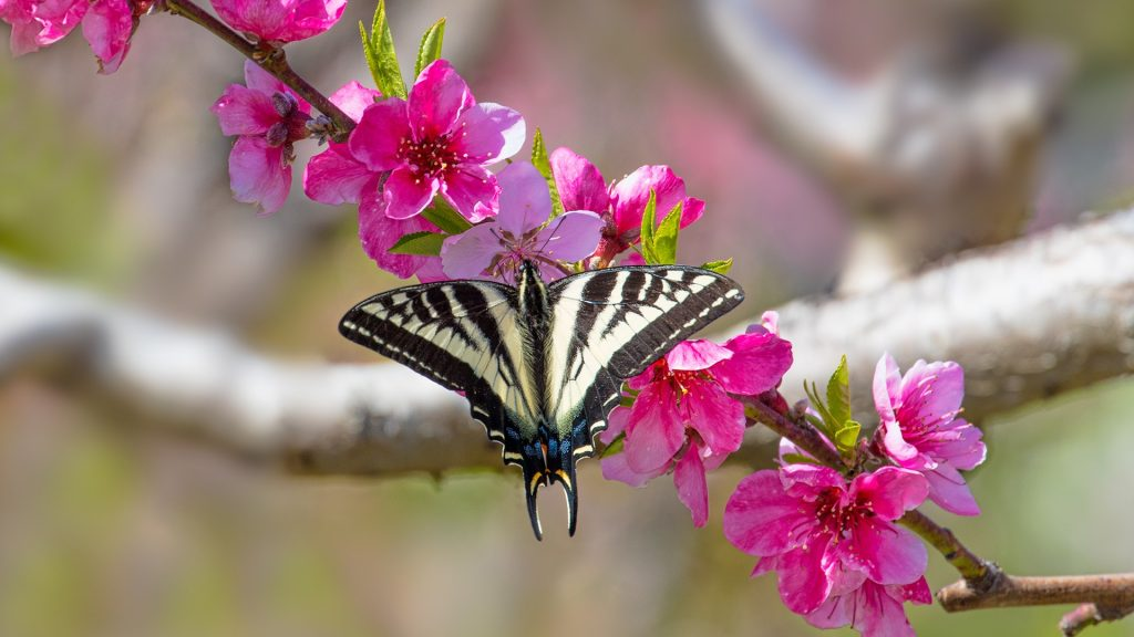 Swallowtail butterfly on a branch of a blooming apple tree, Avila Beach, California, USA