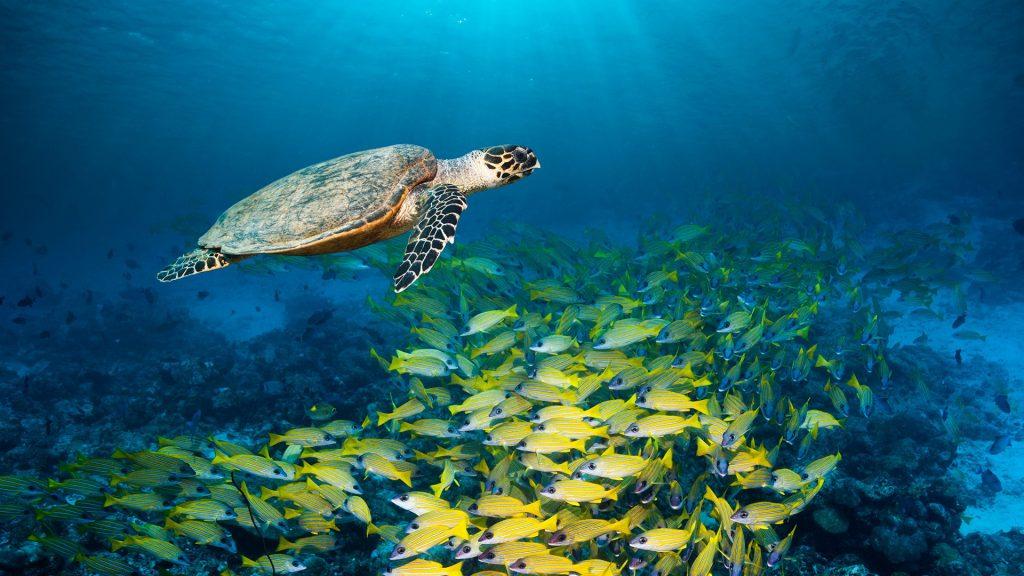Hawksbill turtle (Eretmochelys imbricata) swimming with Bluestripe snappers (Lutjanus kasmira), Maldives