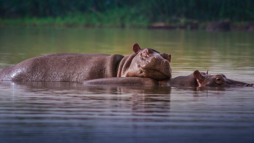 Hippopotamuses (Hippopotamus amphibius) at lake Tana in Bahir Dar, Ethiopia