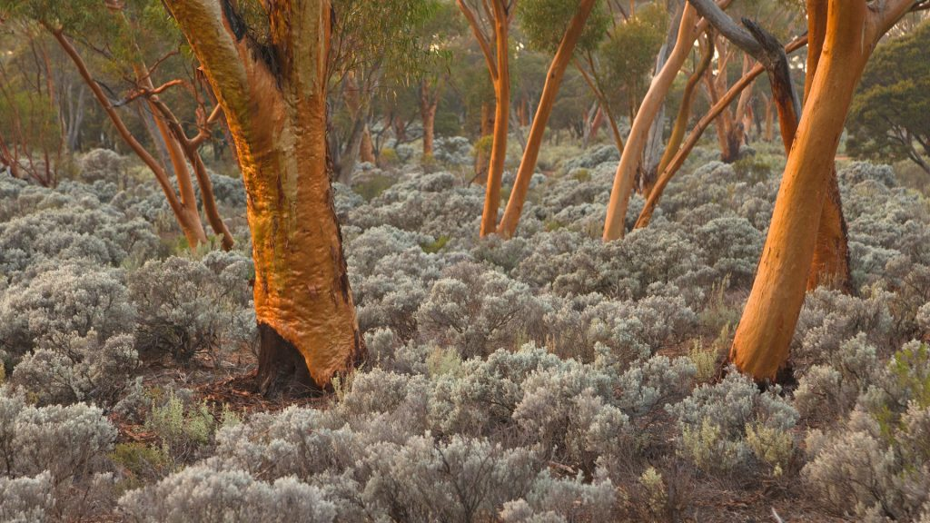 Eucalyptus salubris trees with red smooth trunks in evening light, Nullarbor Plain, Western Australia