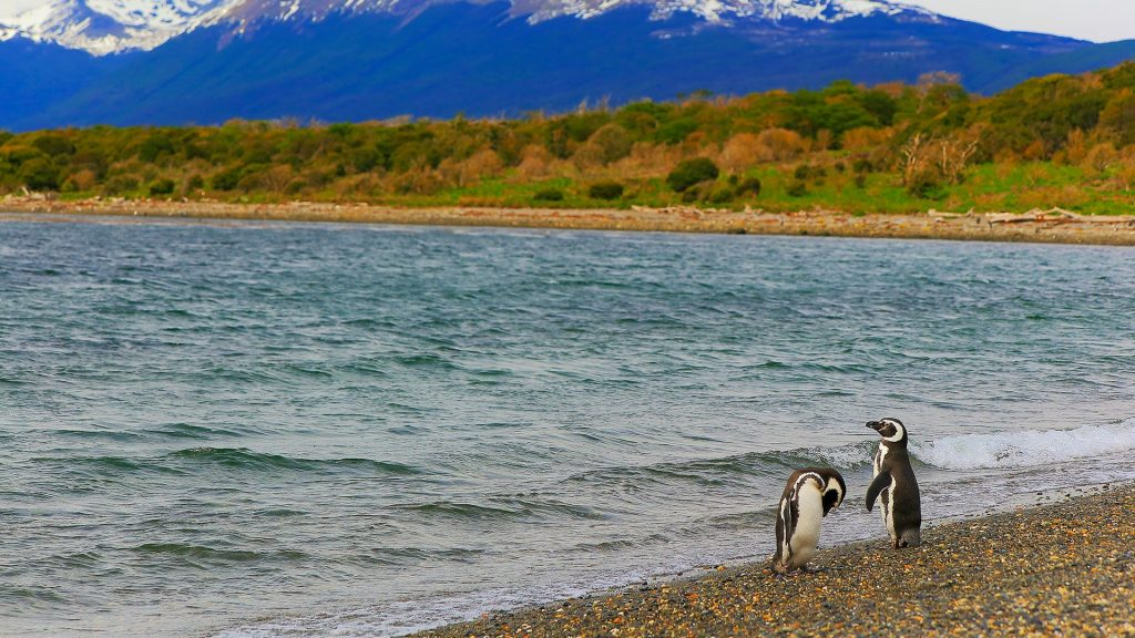 Gentoo Penguin couple along on a secluded beach, Tierra del Fuego, Argentina