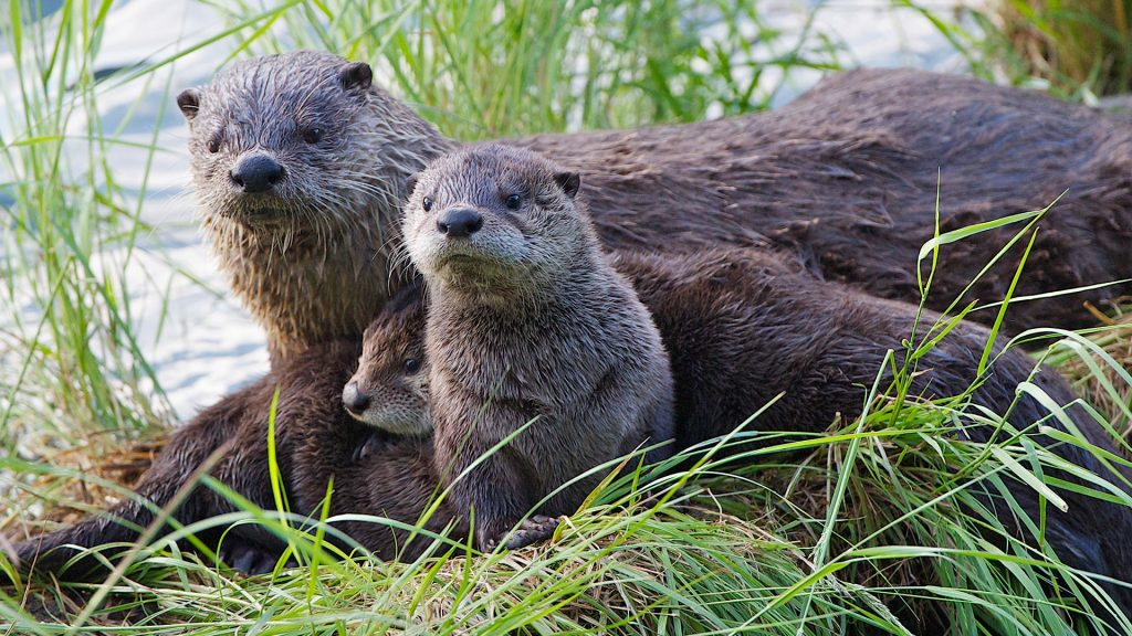 Something caught attention of otter family, Yellowstone National Park, Wyoming, USA