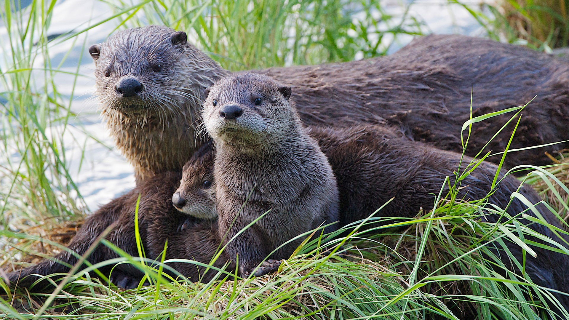 Something Caught Attention Of Otter Family Yellowstone