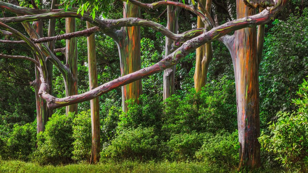 Rainbow eucalyptus trees forest at Hana Road, Maui, Hawaii, USA