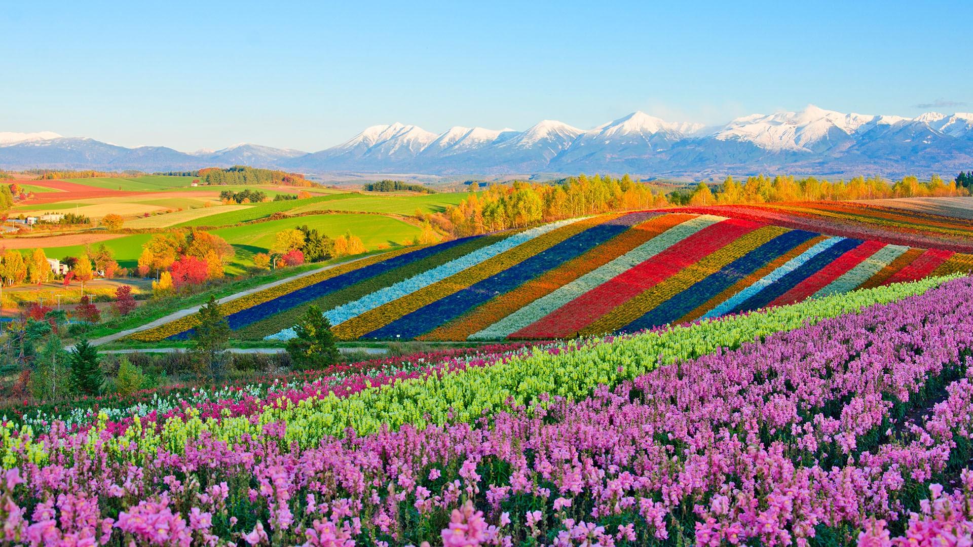 Japan Garden Flowers: Panoramic Flower Gardens Of Shikisai-no-oka Hill, Biei