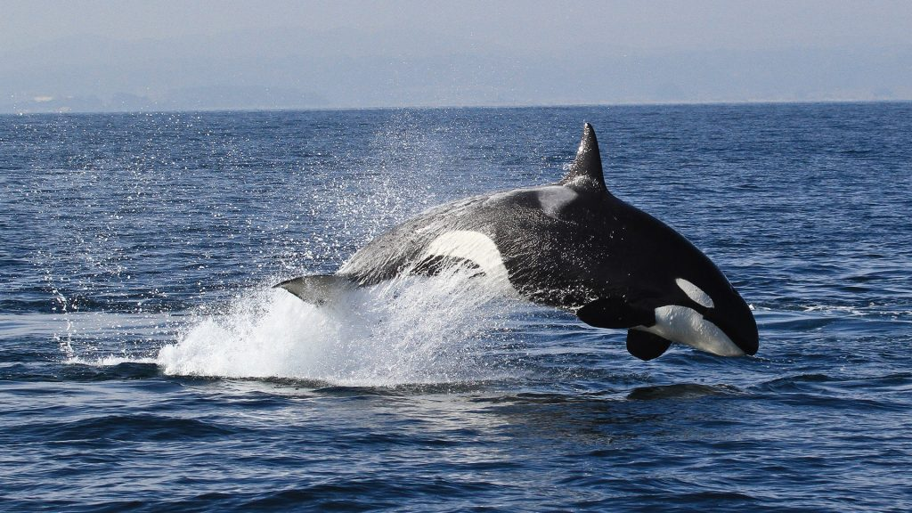 Bigg's (Transient) killer whale (Orcinus orca), Monterey Bay whale watch, California, USA