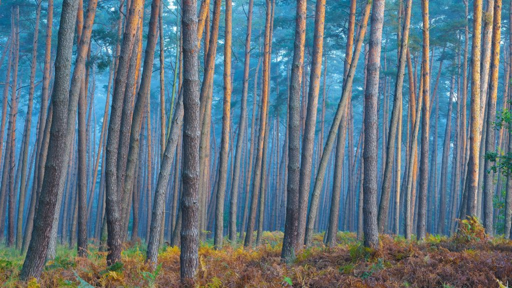 Sunlight reflecting on tree trunks of pine forest on a misty morning in autumn, Hesse, Germany