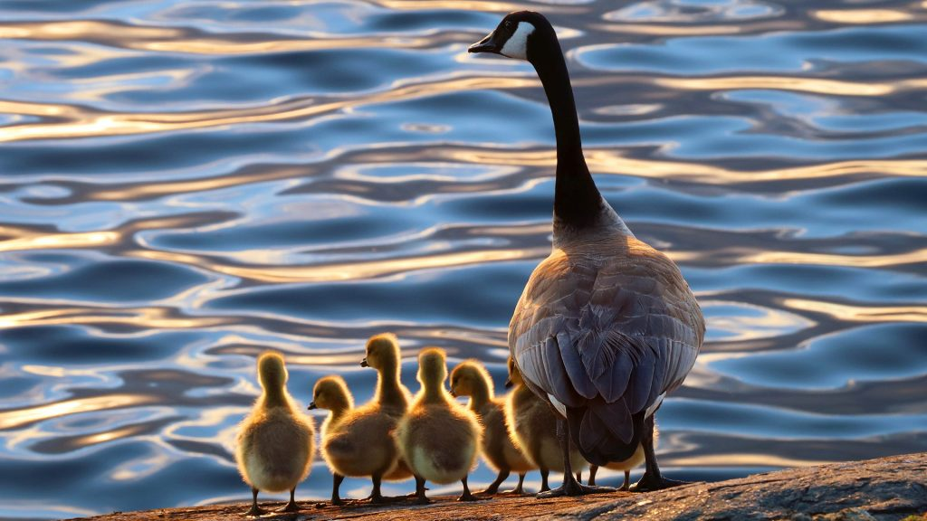 Mother Goose with her goslings (Canadian Geese), Victoria, Vancouver Island, British Columbia, Canada