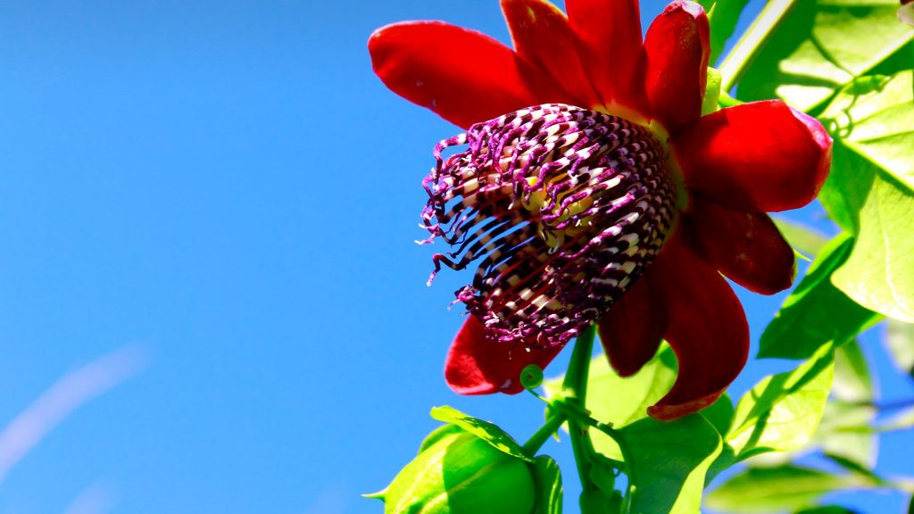 Passion flower (Passiflora alata) in blue sky on sunny day with some clouds, Southern Brazil