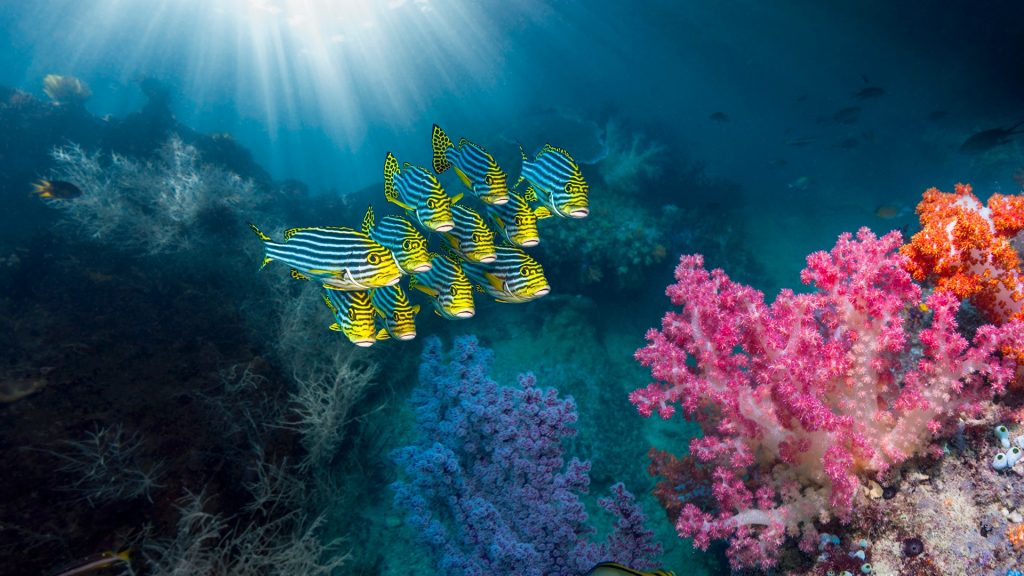 Coral reef with Oriental sweetlips (Plectorhinchus vittatus) over soft corals (Dendronephthya sp.), Ambon, Indonesia