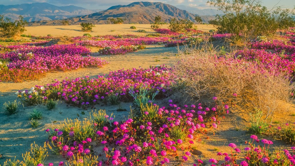 Spring wildflowers in Anza-Borrego Desert State Park, California, USA