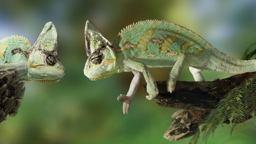 Two chameleons facing each other