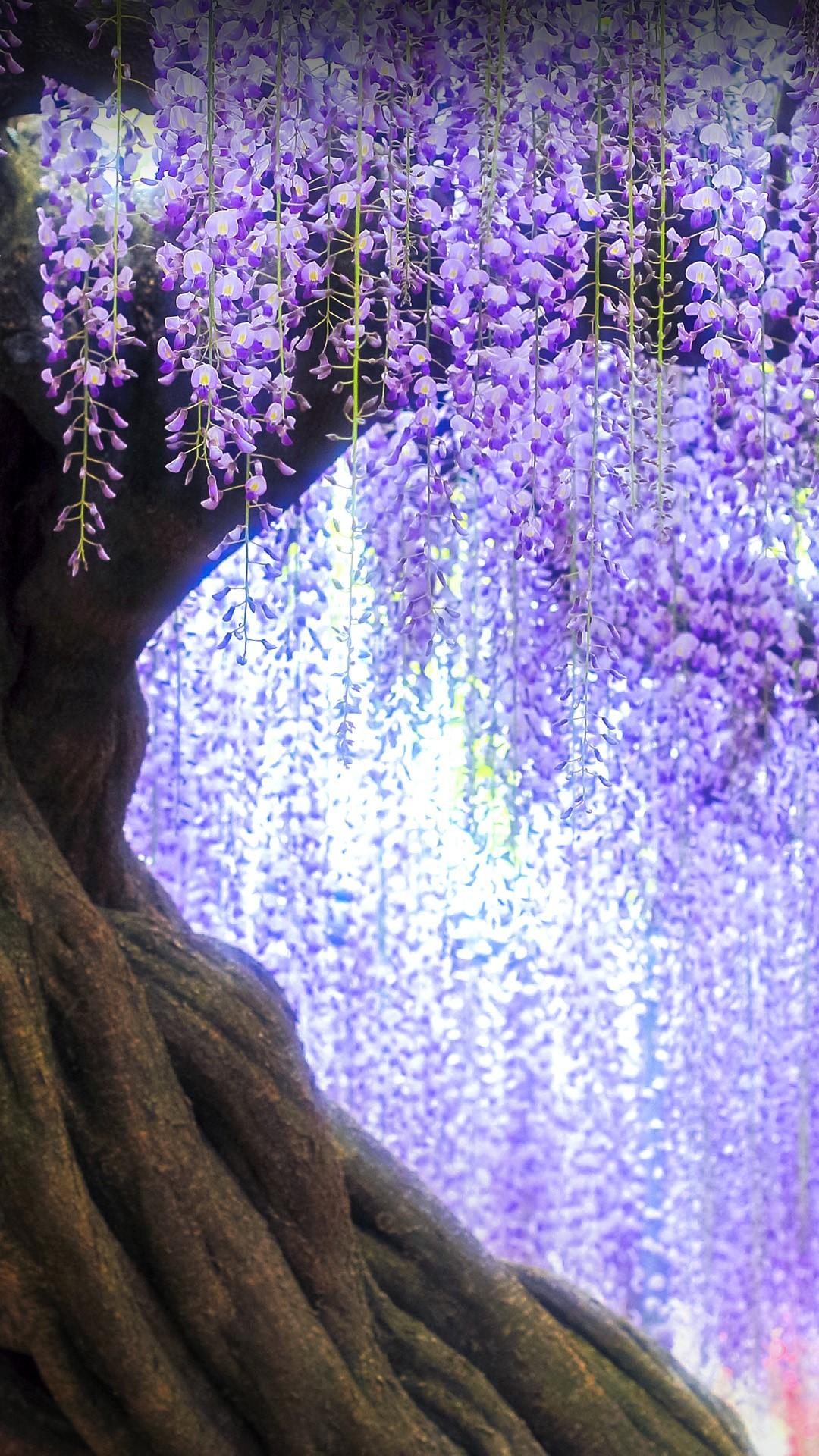 Twisted Wisteria Tree In Ashikaga Flower Park Tochigi Prefecture Japan Windows 10 Spotlight Images