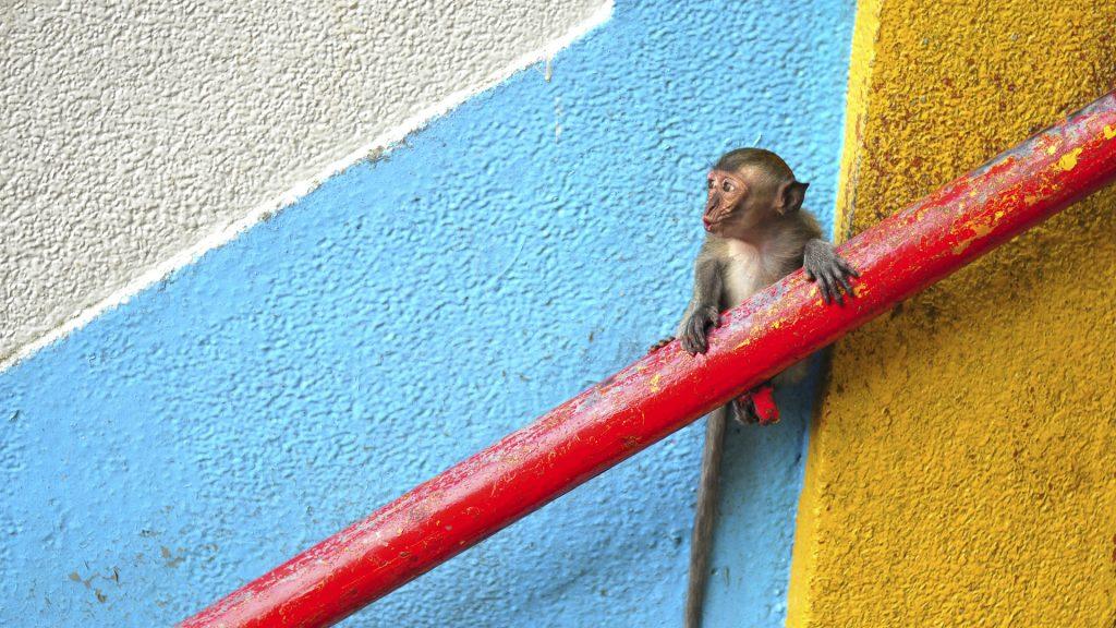 Young monkey looking away, Batu Caves, near Kuala Lumpur, Malaysia
