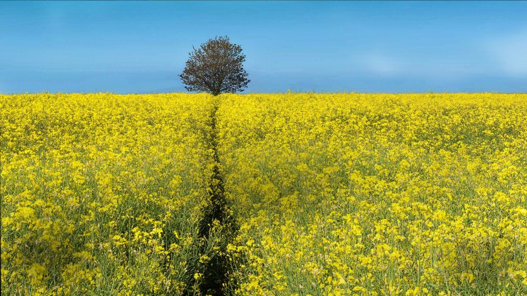 Standing tall, pathway on oilseed rape field, Somerset, England, UK