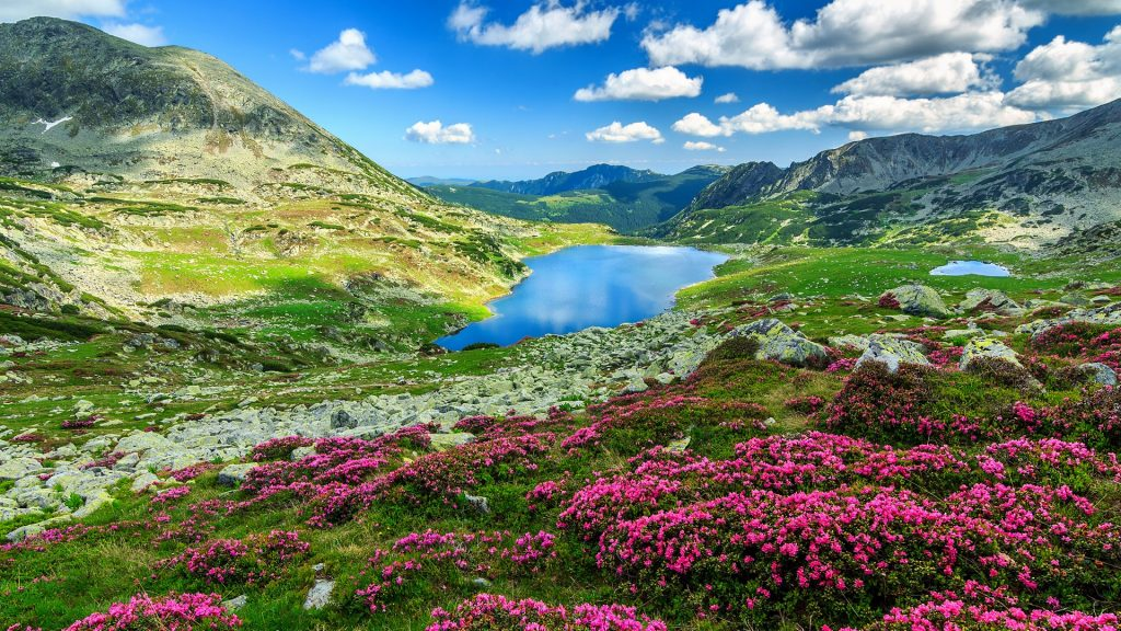 Glacier lake and pink rhododendron flowers in Carpathian mountains, Retezat National Park, Romania