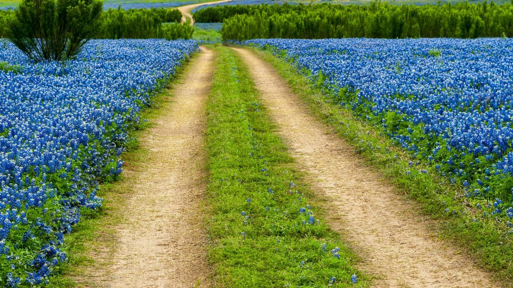 Texas bluebonnet wildflowers field with road, Muleshoe Bend Recreation Area, USA