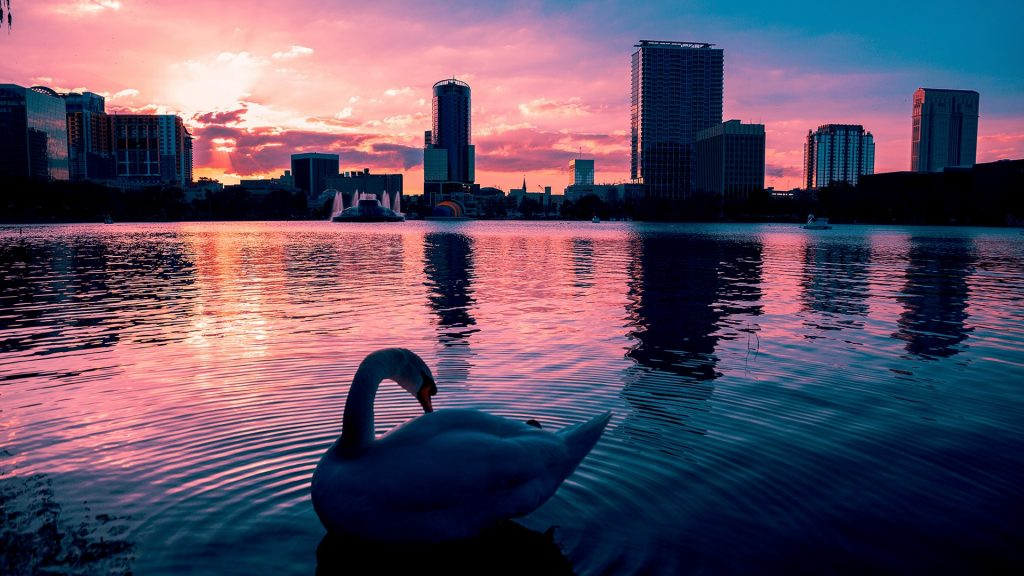 Swan in the water of a dramatic sunset in Lake Eola, Orlando, Florida, USA