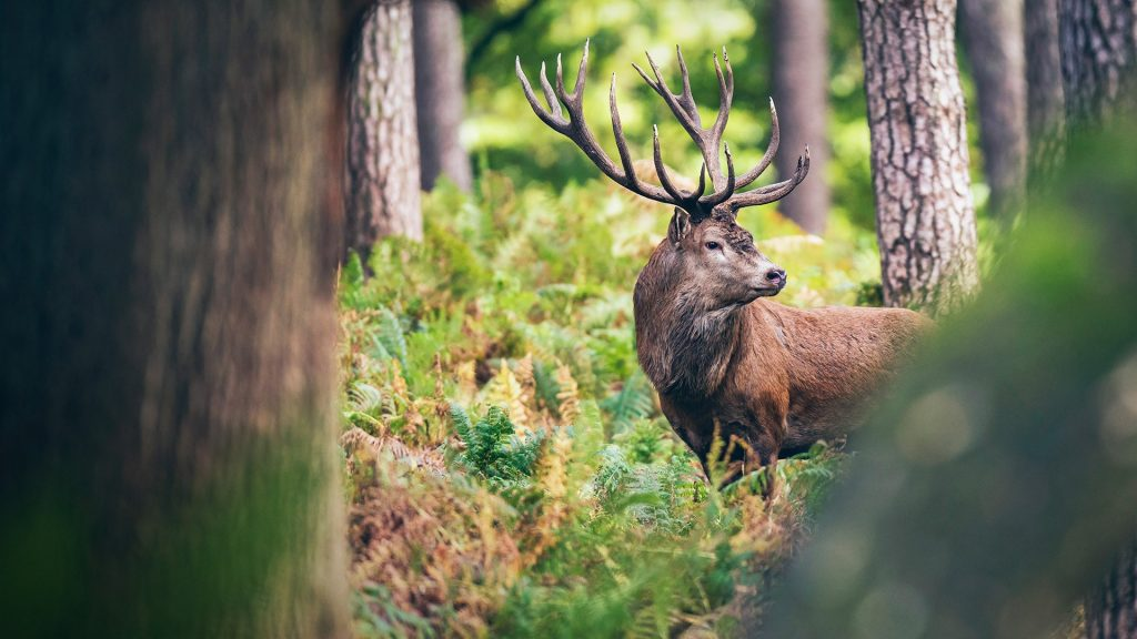 Red deer stag between ferns in autumn forest, Germany