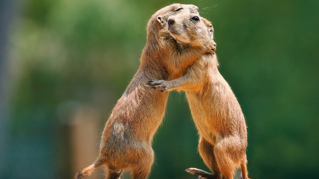Two prairie dogs in warm supportive embrace, York, Maine, USA