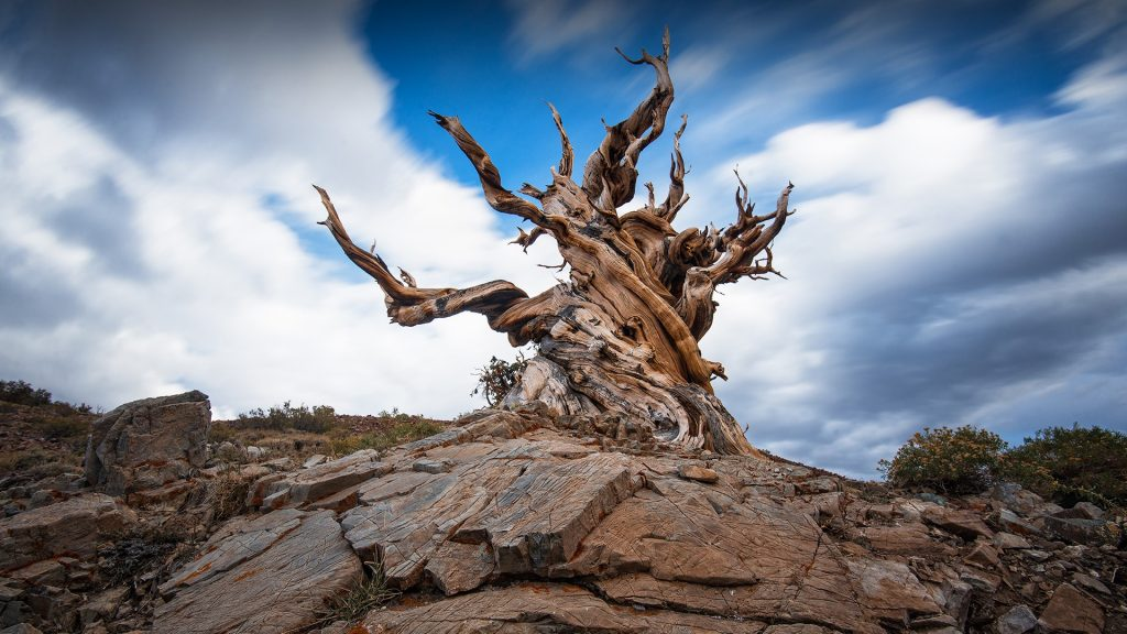 Ancient Bristlecone Pine Forest, White Mountains, Inyo County, California, USA