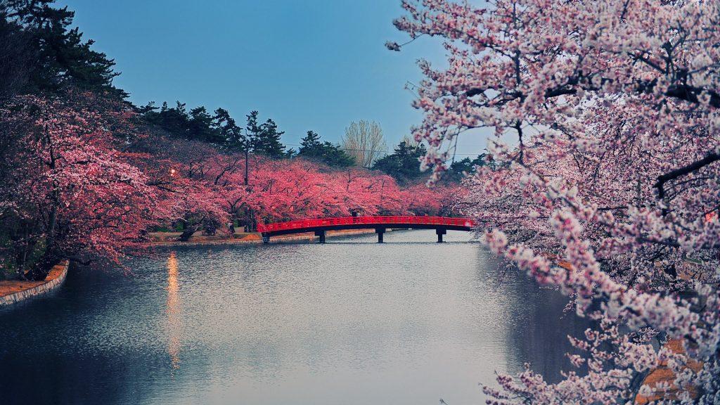 Cherry blossom park at Hirosaki, Aomori, Japan