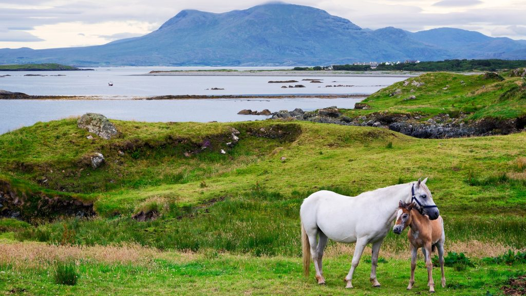Horses in a field, Ardnagreevagh, Rinvyle Peninsula, Connemara, Galway County, Ireland