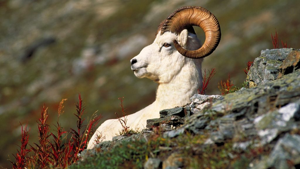 Dall Sheep (Ovis dalli) ram, Denali National Park, Alaska, USA