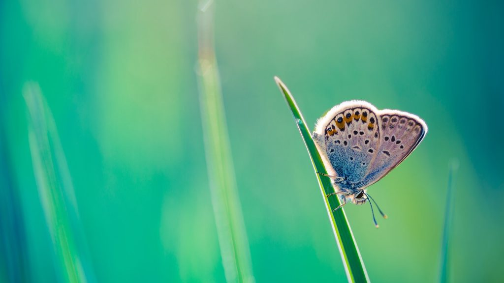 The common blue butterfly (Polyommatus icarus) summer close-up, Hungary