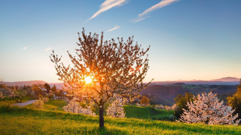 Blooming cherry trees on pasture land at spring sunrise, St Pantaleon, Solothurn, Switzerland