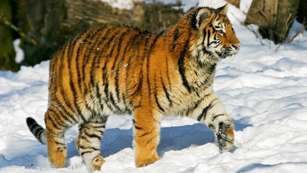 Young Sibirian Tiger (Panthera tigris altaica) in snow, Russia