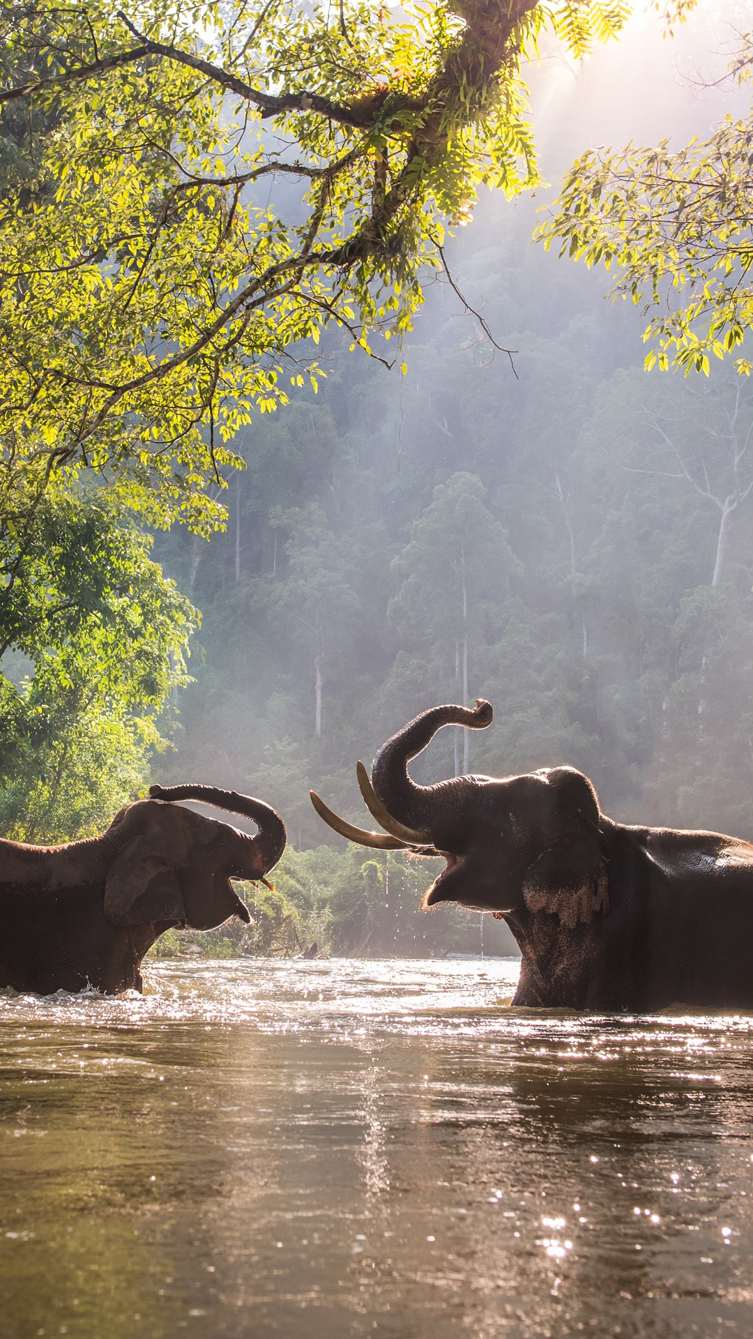 indian elephants playing with water in the river