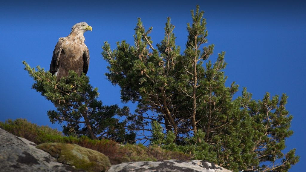 White Tailed Sea Eagle (Haliaeetus albicilla) perched on young fir tree (Abies), Norway