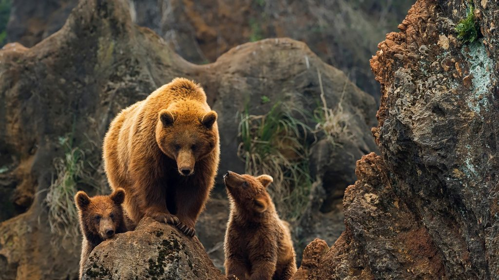 A female of brown bear with two cubs, Cabárceno, Cantabria, Spain