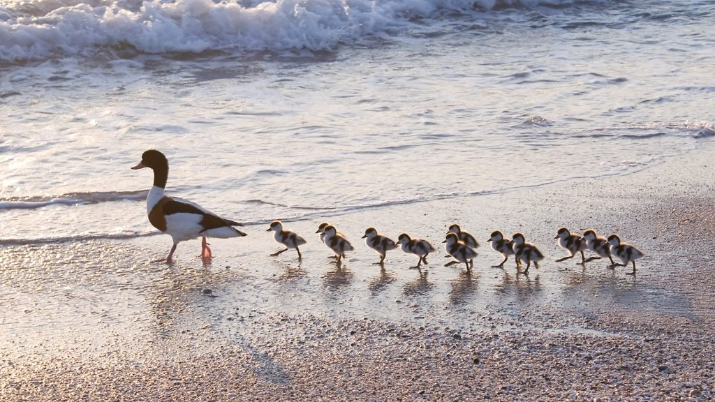 Family of ducks following mother for the first bath in the sea, Plage de l'Almanarre, Hyères, France