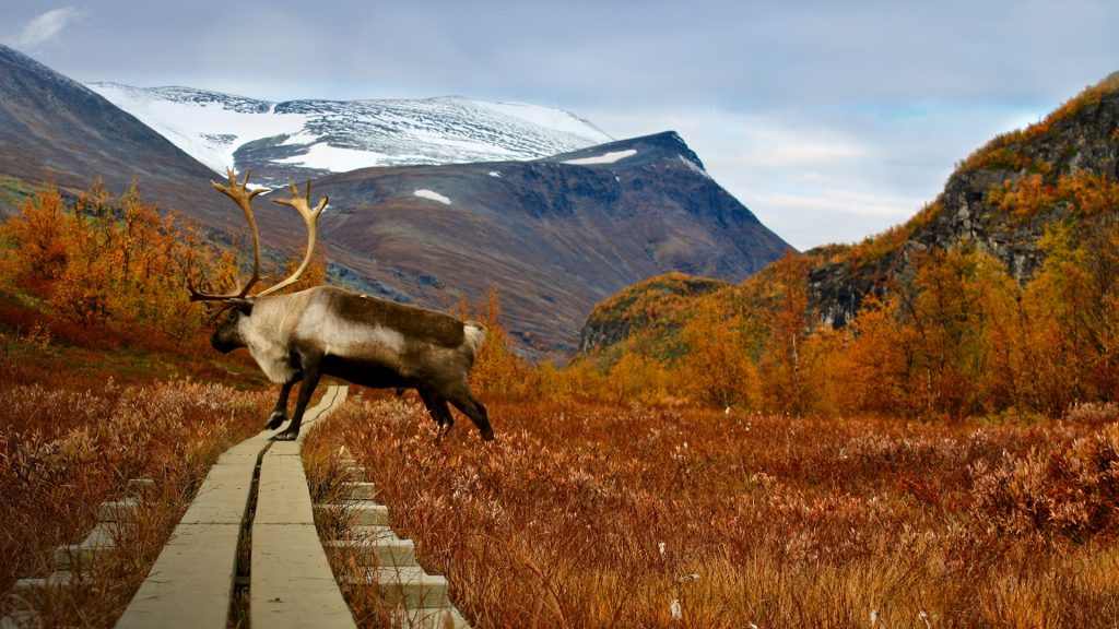 Reendier in autumn in Lapland Sweden on the Kungsleden hiking trail