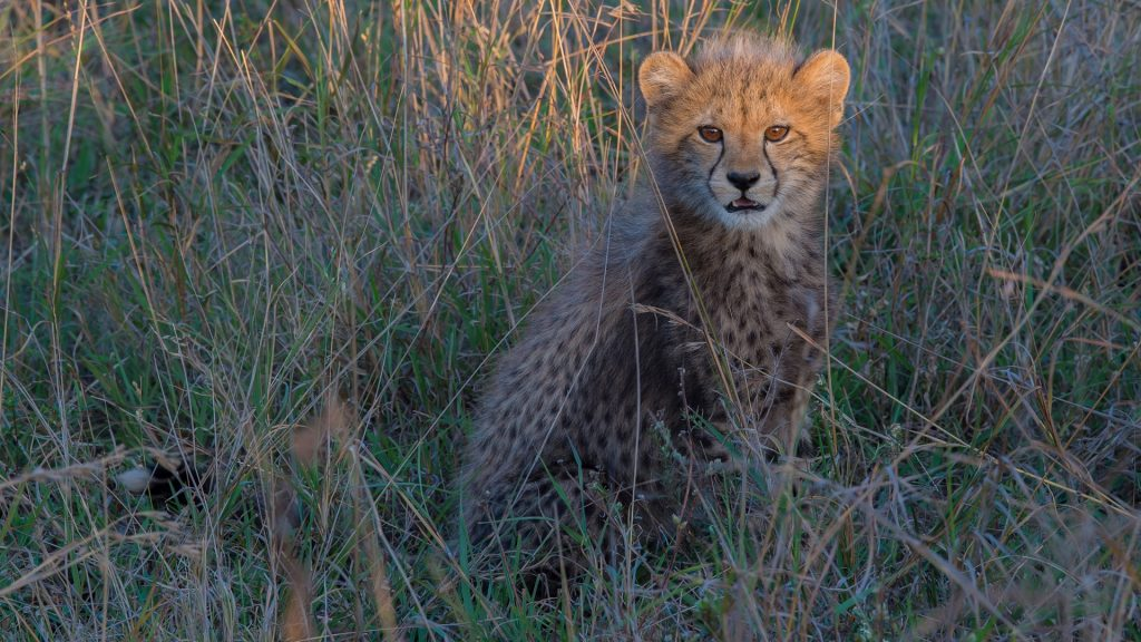 A young cheetah cub in the grass, KwaZulu Natal, Phinda Private Game Reserve, South Africa