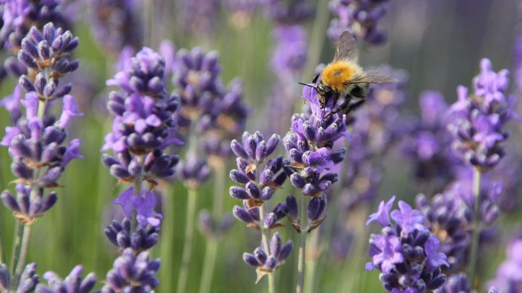 Bee on a lavender flower close-up