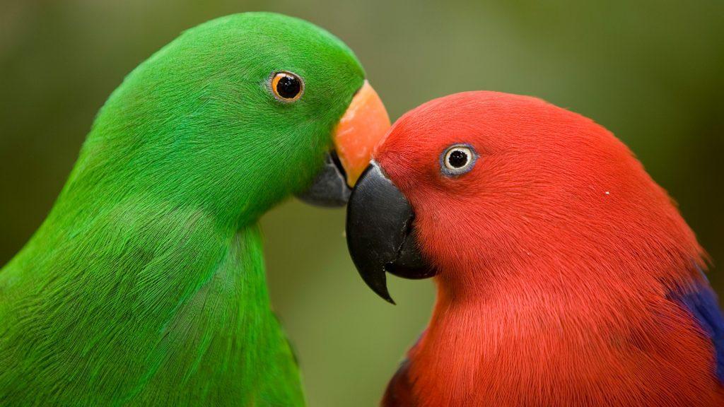 Closeup of male and female Eclectus parrots, Jurong Bird Park, Singapore