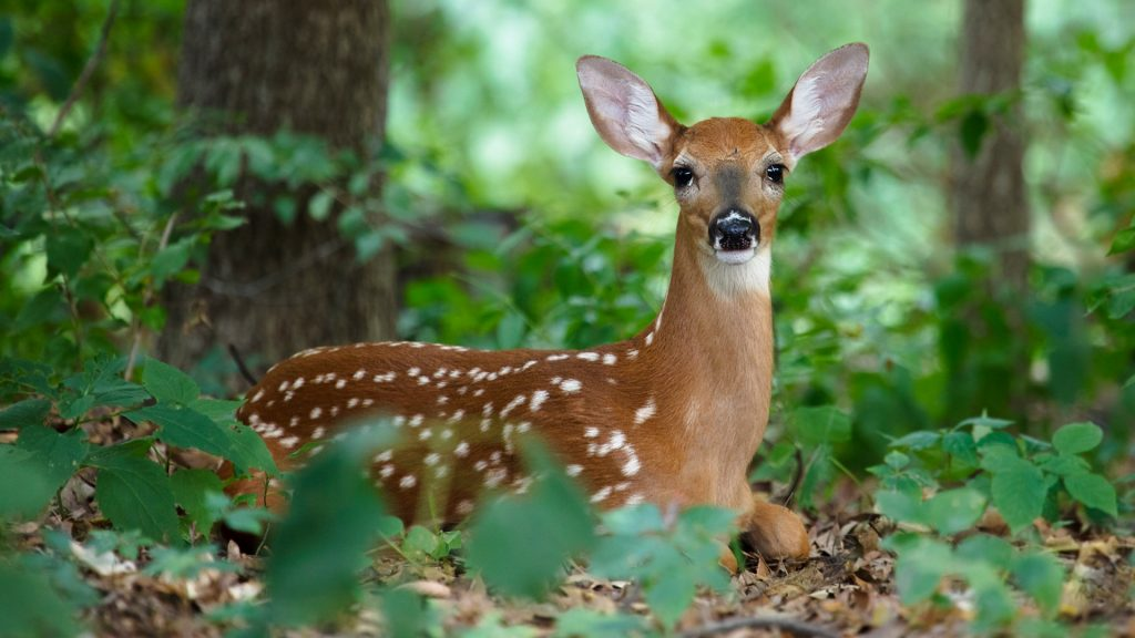 A white-tailed deer fawn hiding in the woods, Ames, Iowa, USA
