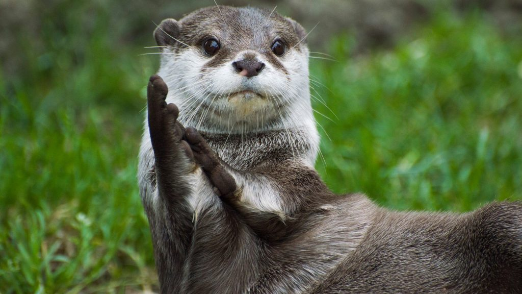 Asian small-clawed otter looking as though it's clapping, UK