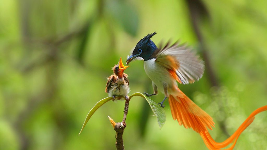 An adult male Indian Paradise Flycatcher feeding a chick, Punjab, Pakistan