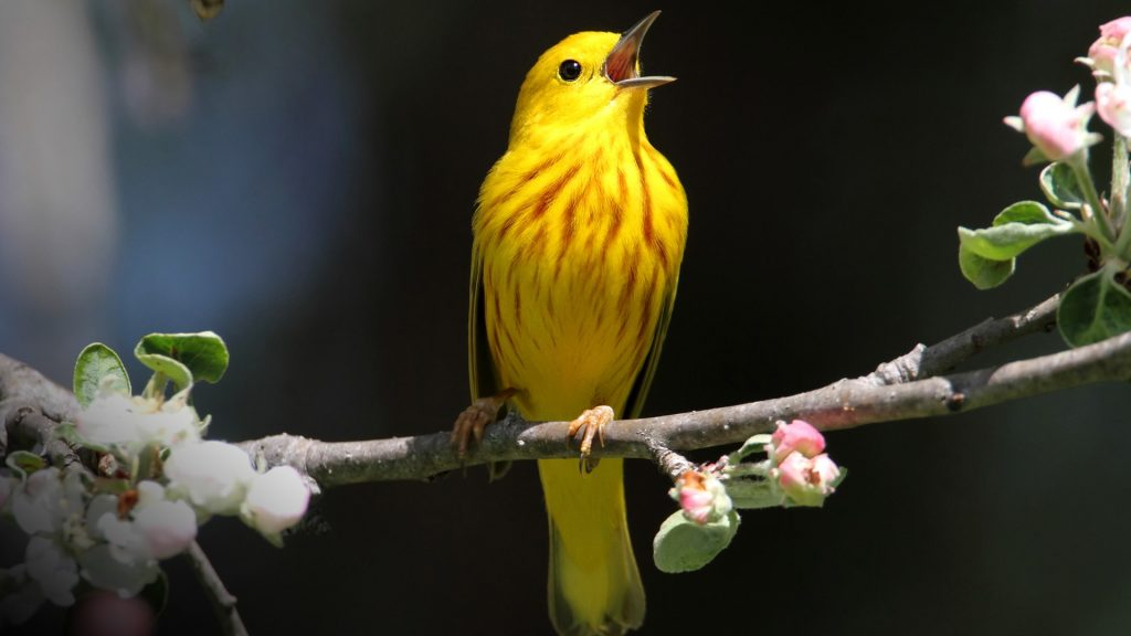 Yellow Warbler (Dendroica petechia) singing on a branch in early spring