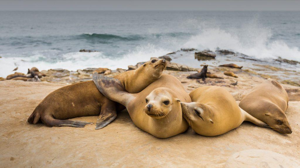 Group of Sea Lions on the rocks at La Jolla Cove, San Diego, California, USA